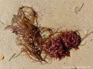 Red seaweeds washed ashore