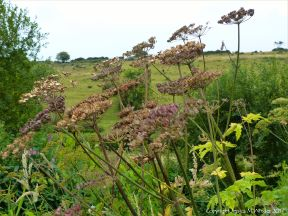 Umbellifera seed heads on the river bank