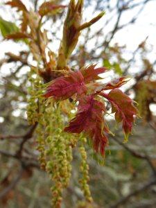 black-oak-new-leaves-3x4