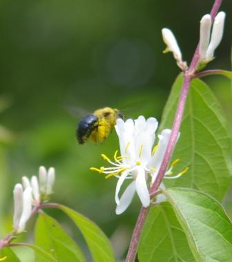 Carpenter bee 2b