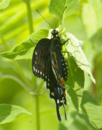 black swallowtail female b