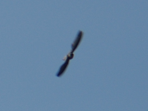 Chimney swift exiting cropped