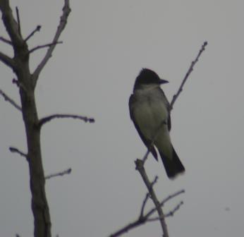 Eastern kingbird 15JLb