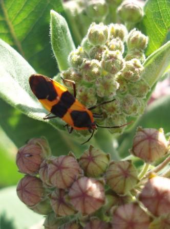 Large milkweed bug b