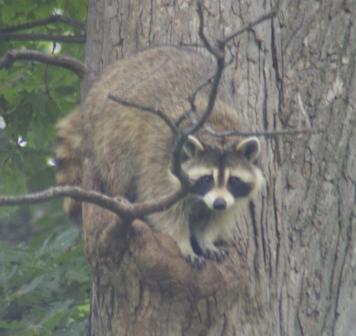 Raccoon 1b