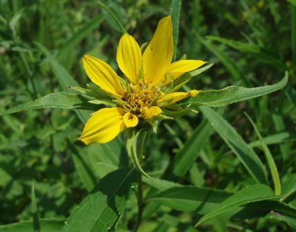 Sawtooth sunflower b