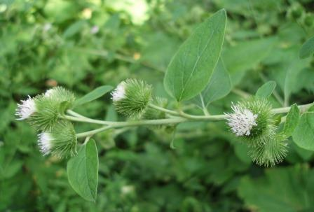 Common burdock b