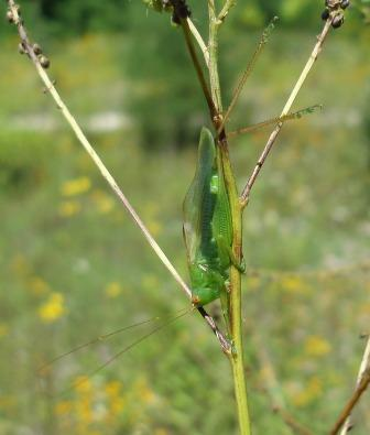 Common meadow katydid 2b