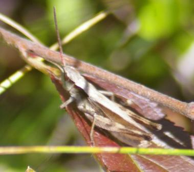 Thomas's broad-winged grasshopper 3b