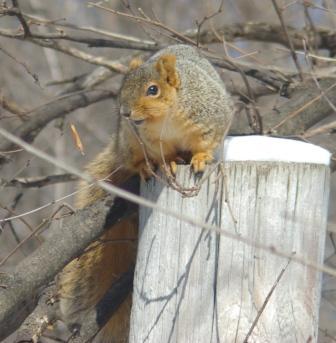 Fox squirrel 1b