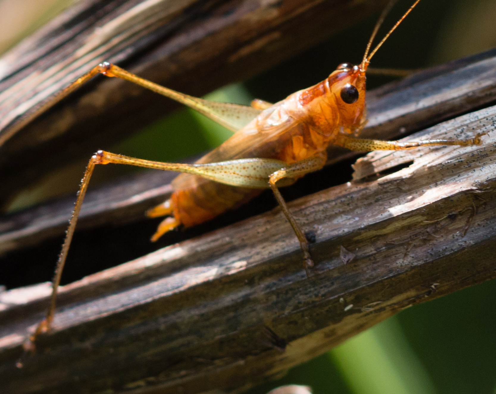hight resolution of i found a healthy population of long tailed meadow katydids including this brown legged male at ferson creek fen in kane county