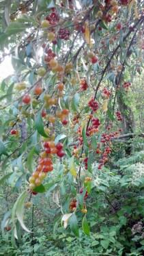 Autumn Olive Berries, NatureIntoAction (1)