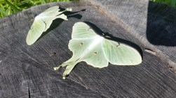 Luna Moth Adults that haven't yet fully dried their wings.