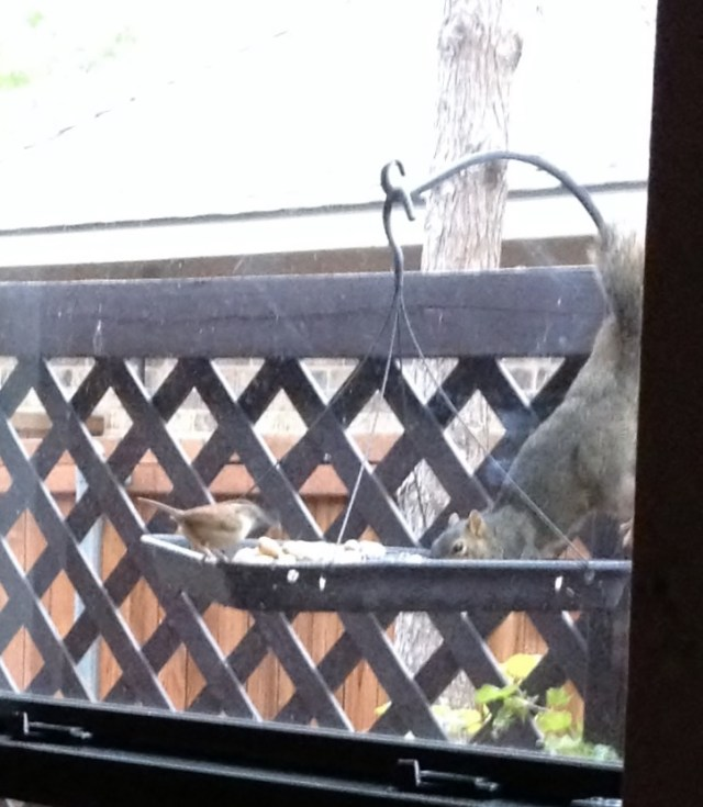 Carolina Wren and Squirrel Together at Bird Feeder