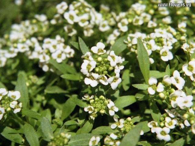 Sweet Alyssum Close Up