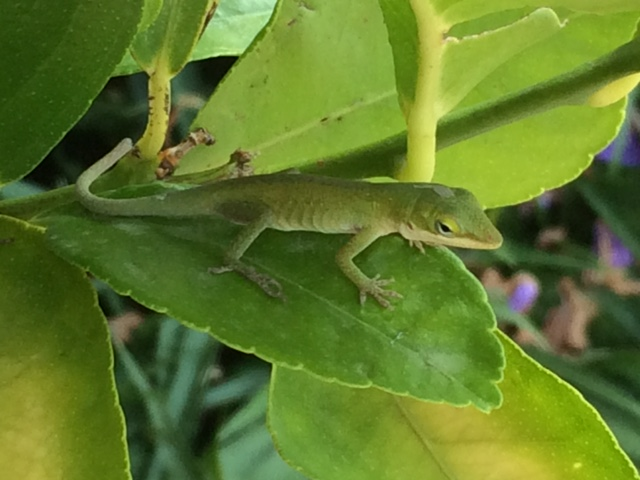 Anole on Lime Tree