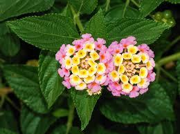 Close up of Lantana blooms