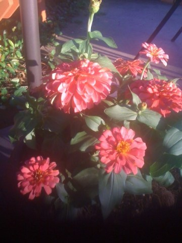 More Coral Zinnias