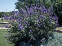 Vitex Shrub
