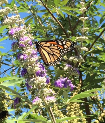 Monarch on Vitex, Carrollton, Texas, Oct 2015