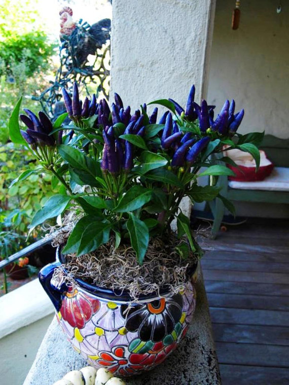 Ornamental Purple Peppers