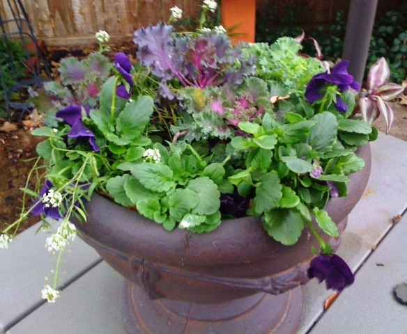 Pansies, Ornamental Cabbages, Alyssum and Wandering Traveler