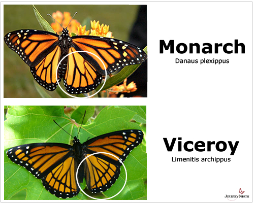 Viceroy_Monarch_ID