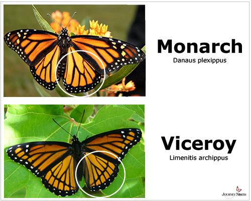 Viceroy_Monarch_ID