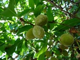 Almonds w/Fleshy Exterior