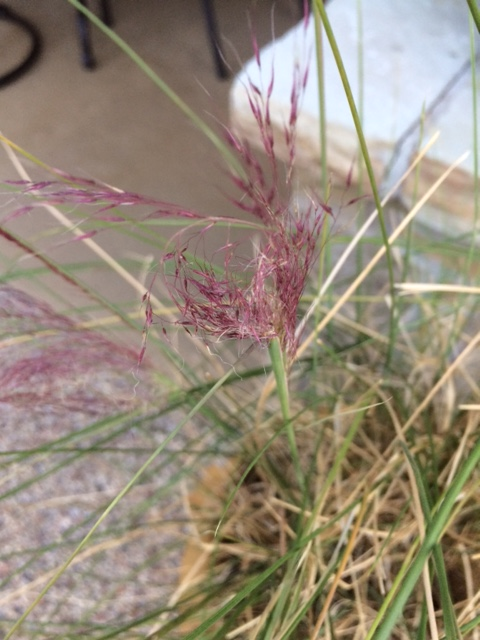 Pink Muhly Grass Bloom on Bent Stem