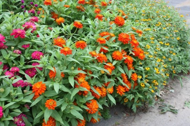 Bunches of Zinnias
