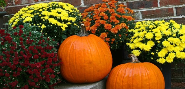 Mums with Pumpkins