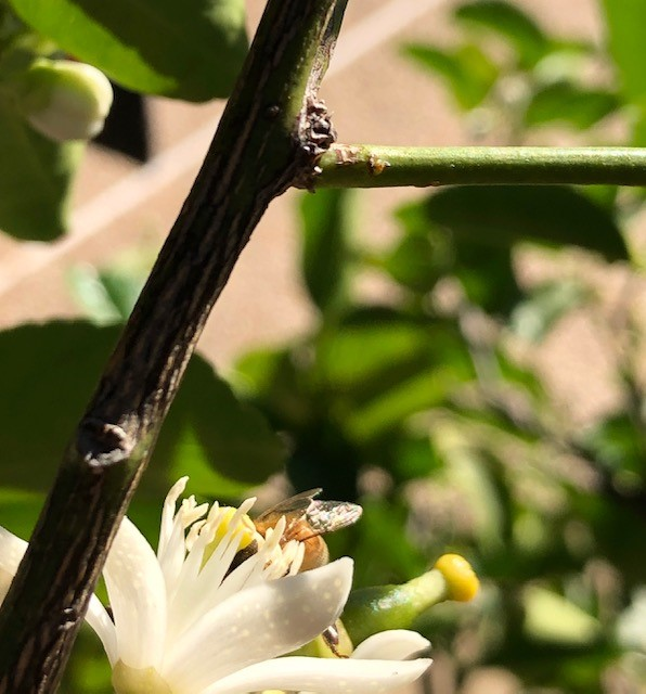 Bee Pollinating Lime Boom