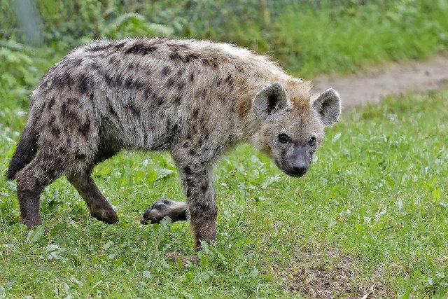 笑吧!讓斑鬣狗趕走你的憂鬱 – 聽 萬物的語言