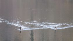 Canada Geese, wake, American River, Fair Oaks Bridge, mornings, nature, journal, writing