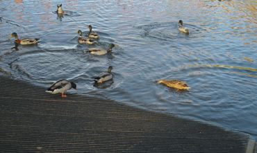 duck, boat launch, American River, American River Parkway, water, feed ducks, bread,