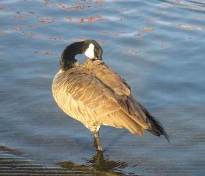 Canada Goose, American River, grooming