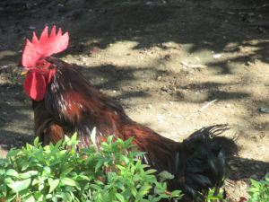 rooster, Fair Oaks, Fair Oaks Village, morning, crow, walk, American River