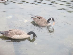 salmon, Canada Geese, American River