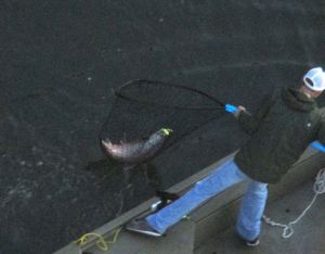 fish-in-net, fisherman, Fair Oaks Bridge, Fair Oaks,salmon, morning, fishing