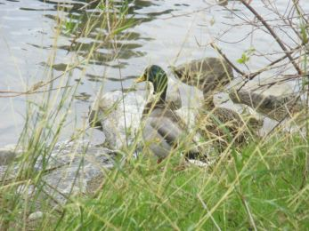 ducks, American River, raindrops