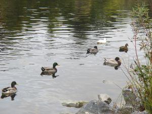 duckswimgroup