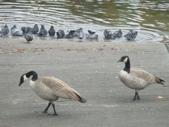 Canada Geese, pigeons, boat launch ramp, American River, Fair Oaks, mornings