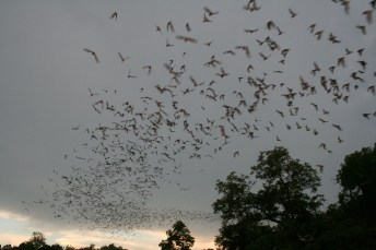 bats, flying, Fair Oaks, American River, Fair Oaks Bridge, Buffleheae