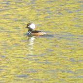 new-ducks, new arrivals, American River, Fair Oaks, Fair Oaks Bridge, water, waterfowl