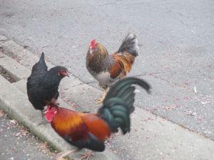 roosters, chickens, Fair Oaks, Fair Oaks Village