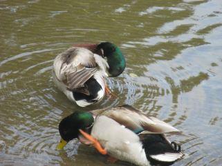 ducks, hygiane, morning, boat launch ramp, American River, Mallards