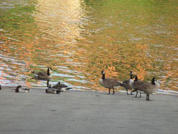 Canada Geese, boat launch ramp, American River, Fair Oaks Bridge, American River Parkway, ducks, pigeons