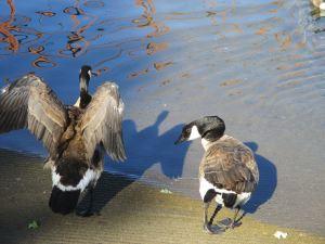 Canada Geese, boat ramp, American River, wings, river, morning, American River