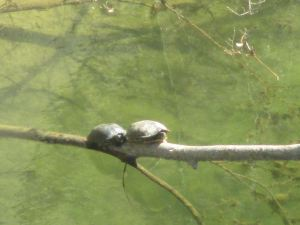 turtles, Fair Oaks Bridge, American River, morning, water, wildlife, walking, discovery